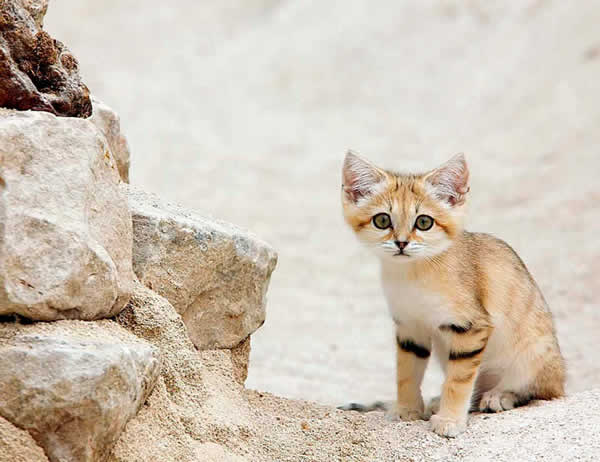 A cute little sand cat