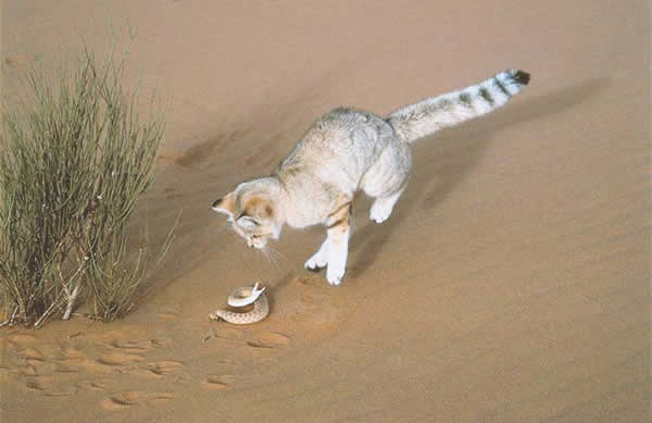 A sand cat in the desert trying to kill a snake