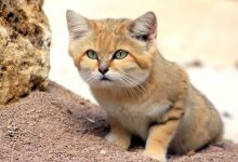 Photo of Learn 10 Things About The Sand Cat Who Lives In Morocco