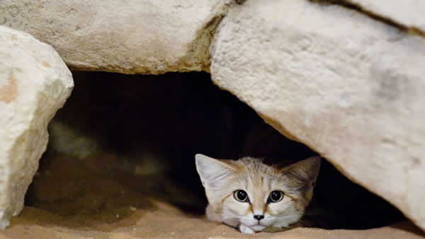 A small sand cat hiding in a hole