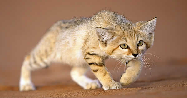 A sand cat in the sahara