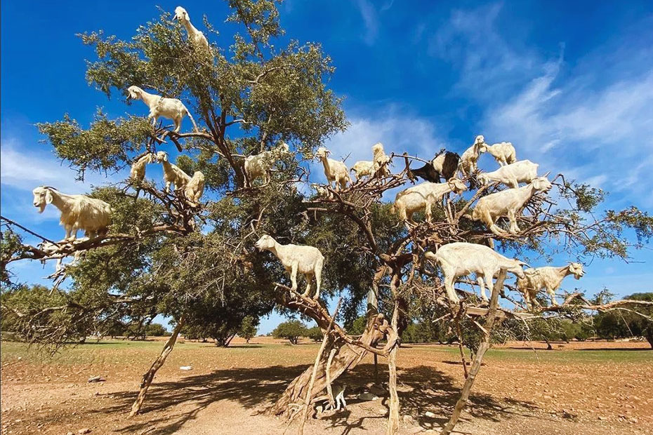 goats climbing on a tree in morocco- what is morocco known for